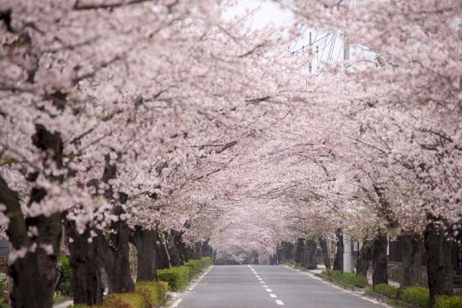 Pink petals and leaves line this road and cover the canopy
