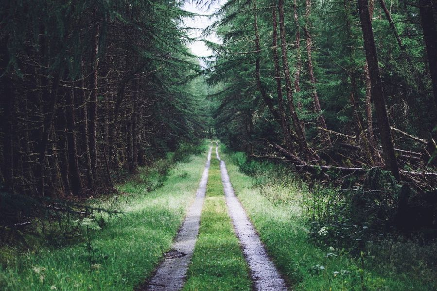 An off-road vehicle dirt road blazes through this conifer tree tunnel