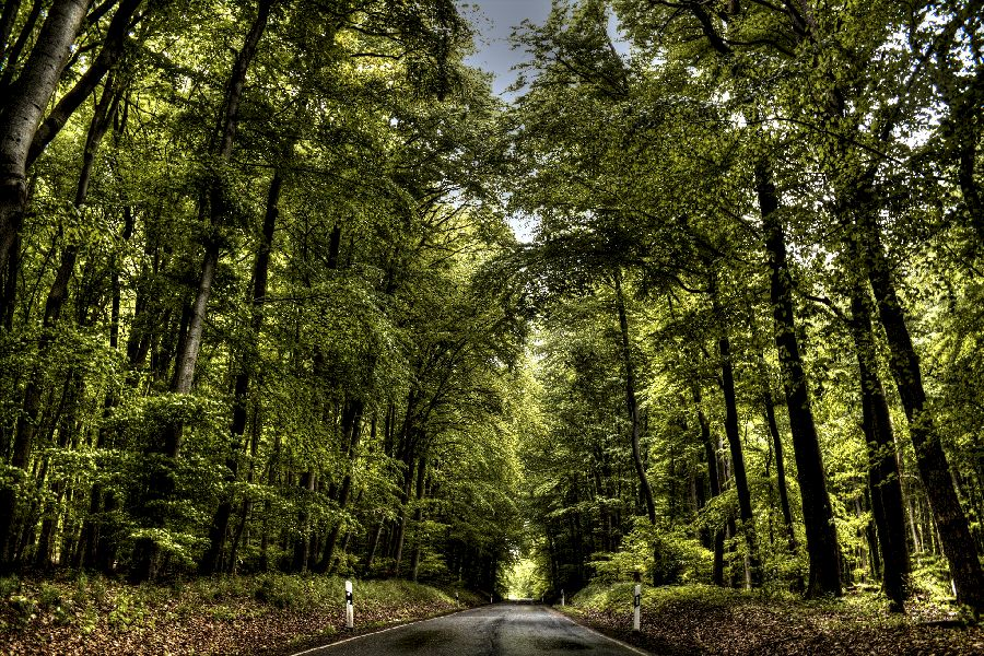 Road leading into a Tall tree Tunnel