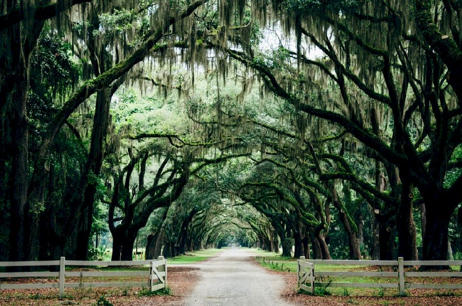 A long driveway covered by over-arching trees and drooping foliage