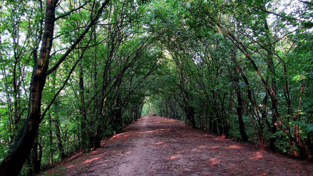 A Leaf littered dirt road leading through a lush green tree tunnel
