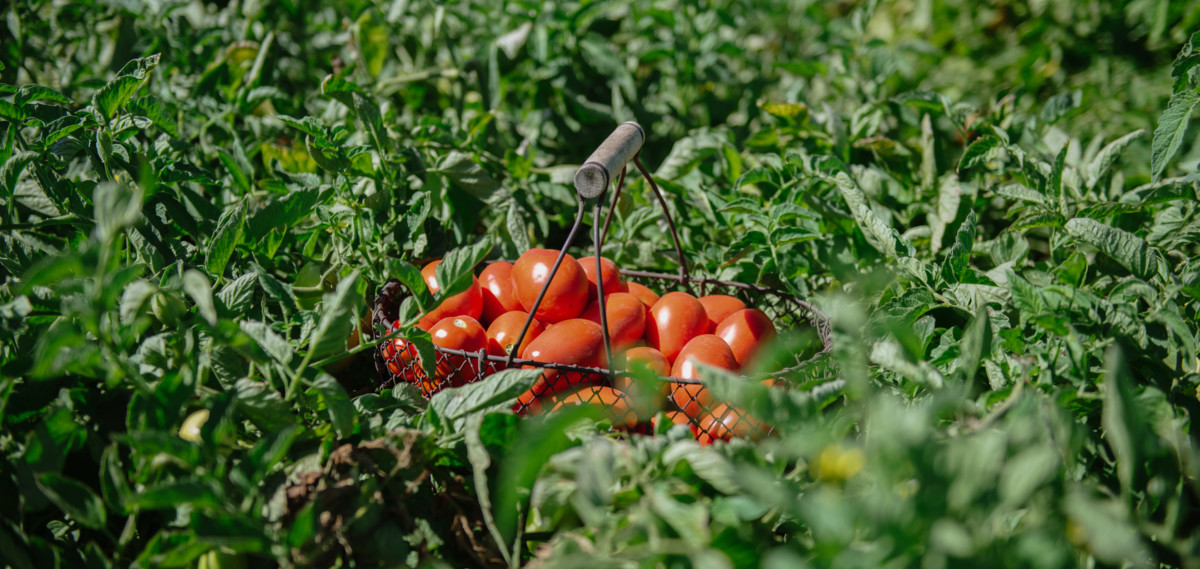 Amy's tomatoes field