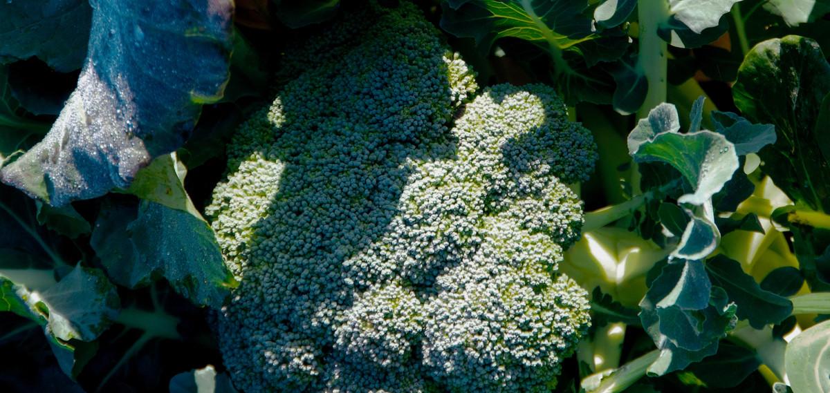 Amy's broccoli