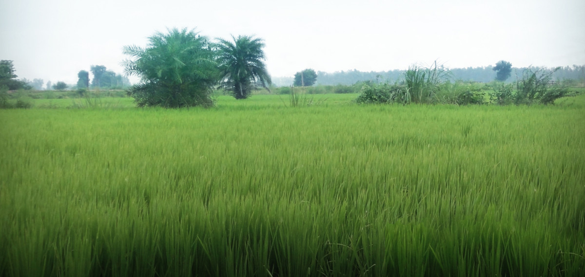 Amy's rice growing in India