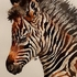 Restful Zebra