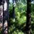 Tall Timber Study 3