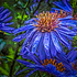 Droplets on aster