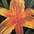 Day Lily in my Garden