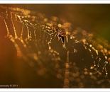 Golden Web II