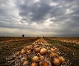 Onion's field