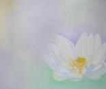 White lotos