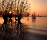 Willows on the IJssel river
