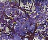 African Jacaranda Tree