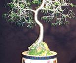 Oriental  Bonsai Wire  - Tree Sculpture