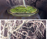 Poplar in Round Glass - Wire Tree Sculpture