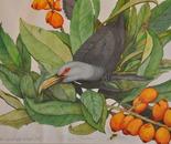 A Loquat Feast - Channel Billed Cuckoo