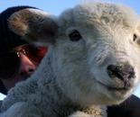 Sheep and Aviators