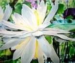 focus on a Lilly