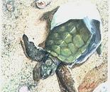 Green Turtle break for the ocean