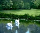Mute Swans - Dedham
