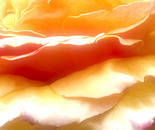 Rose Petal Sunrise