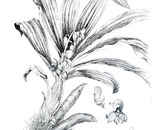 Catasetum integerrimum