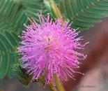 planta dormideira