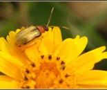 inseto joaninha