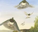 Wings over Riwaka/Kereru