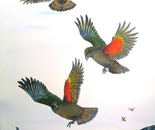 Wings over Ngarua/kea