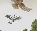 Wings over Kairuru/harrier and magpie