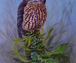 NZ Morepork owl