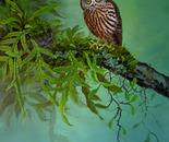 NZ Morepork owl 2