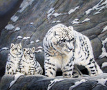 Snow Leopard Protects Her Cubs