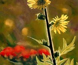 July Afternoon, Compass Plant