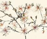 Star Magnolia Pano