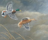 Cloudy flight, mallard pair