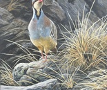 Early morning, chukar partridge
