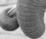 Elephant VI