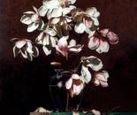 Chinese Tulip Magnolias