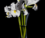 White African Irises in Black