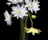 Daisies for Lovey