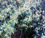 Backyard Bamboo ll
