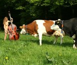 Concerto for contrabass and two cows