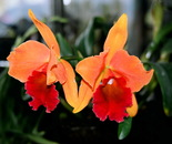 Exotic Orchid II