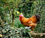 Cocky Rooster