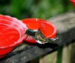 Fluttering Humming Bird