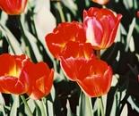 Tulips in Prime
