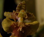 Dickheadflower... a very rear spesiment from thailand