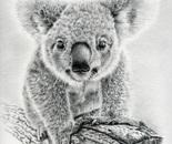 Koala Oxley Twinkles